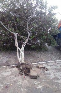 Várias árvores foram arrancadas com a força dos ventos