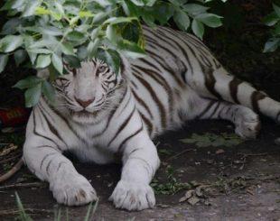(Arquivo) Tigre siberiano no zoológico de Pequim no dia 22 de maio de 2012 - AFP/Arquivos
