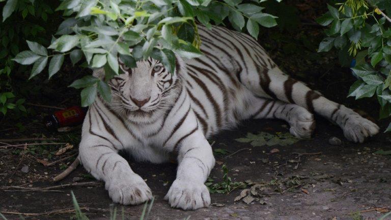 Tigres matam mulher e ferem outra em parque de Pequim