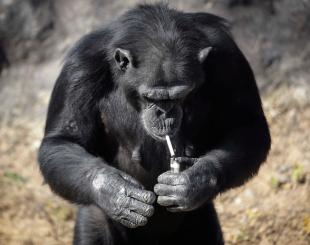 macaco-fumante-1